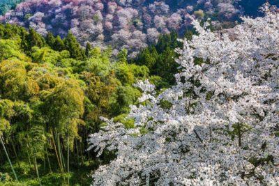 Bamboo Blossoms, Yoshino