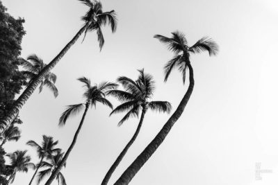 Black and white fine art photograph of swaying palm trees in Hawaii