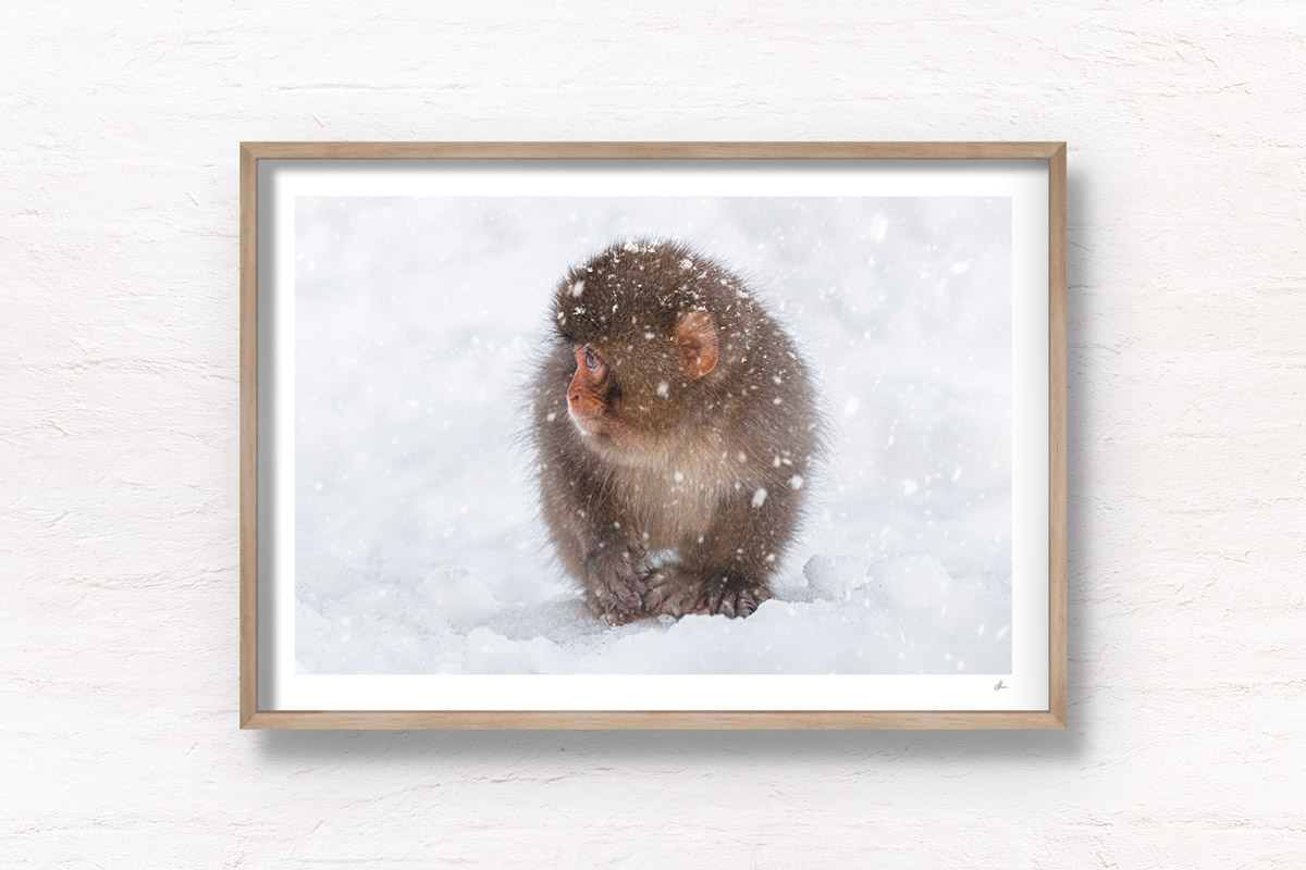 Baby snow monkey in the snow during a snow storm in Jigokudani Monkey Park Japan