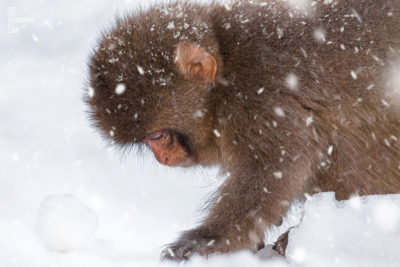 Baby snow monkey walking in the snow during a snow storm in Jigokudani Monkey Park Japan