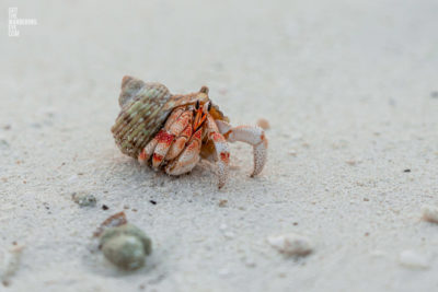 Sea crustacean. Hermit crab using a shell as its shelter and home on the beach at the Maldives.