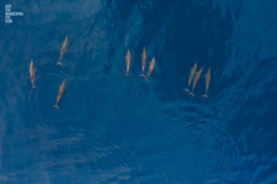 Fine Art Photography Print. Aerial, oceanscape photography of frolicking pod of dolphins in The Maldives