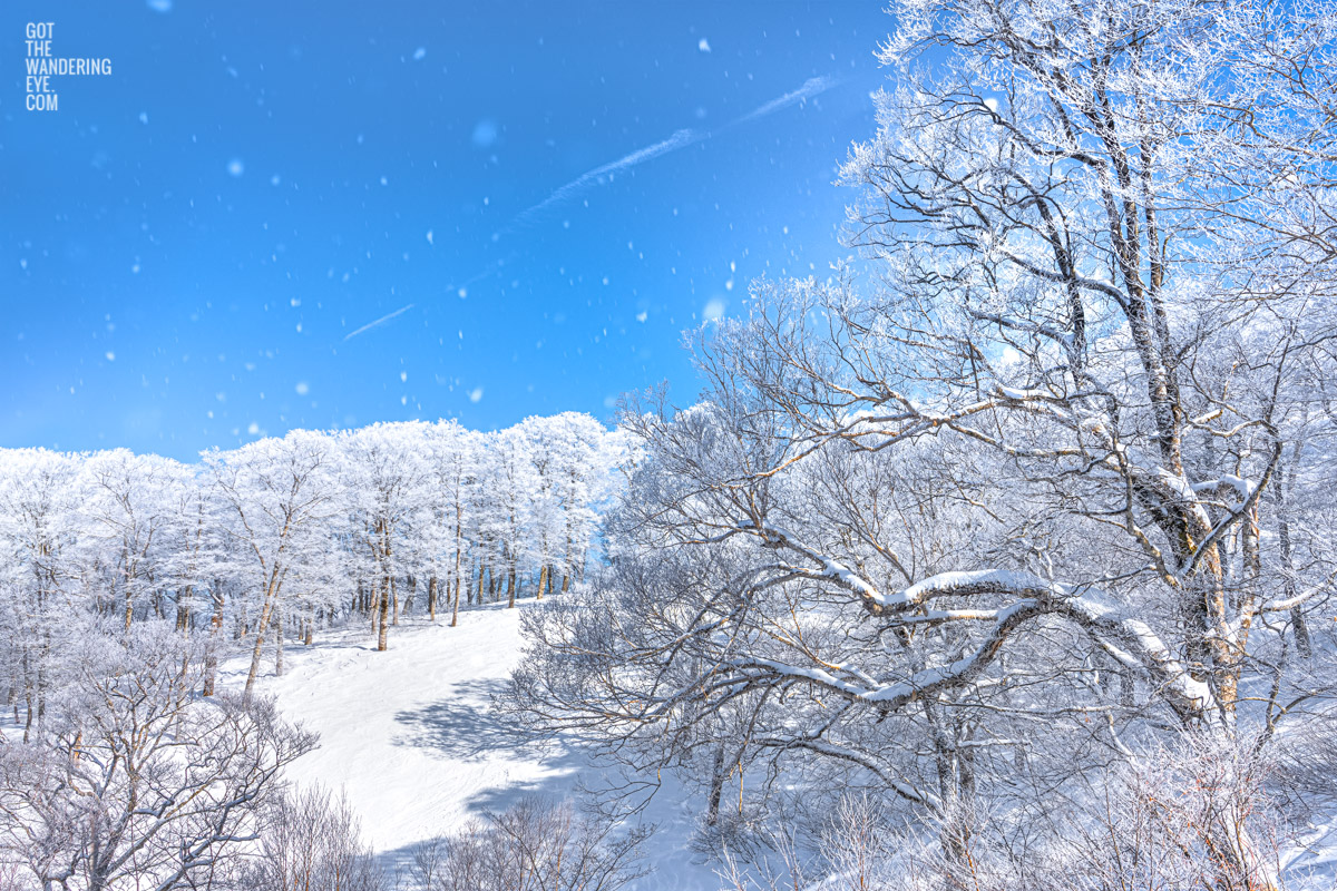 Blue skies and snow covering alpine trees in Nozawa Onsen Snow Resort, Japan